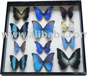 12実質の青い蝶はフレームに-装飾及びギフト取付けた-芸術コレクター商品問屋・仕入れ・卸・卸売り
